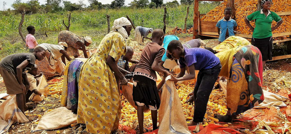 harvesting of maize in Uganda